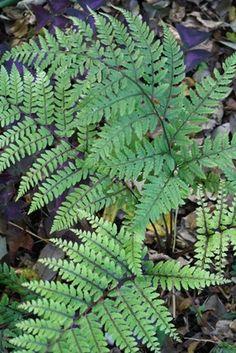 Athyrium otophorum (Asian Lady Fern)