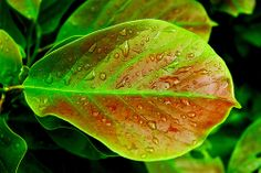 Magnolia Leaf | Flickr - Photo Sharing!