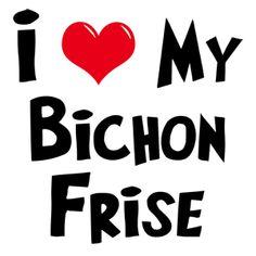 I love my Bichon Frise ♥ PACO ♥