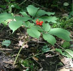 Ginseng  Panax Spp.  berries are edible.  root is edible raw.  grows moist, rich wooded areas.
