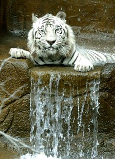 """Kumar"" strikes a pose. White Bental Tiger in Zoo, Erie, PA; photo by Greg Wohlford"