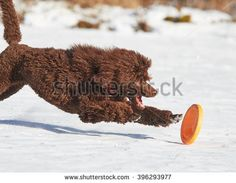 Stock Photo: Poodle catching a frisbee on the ground in winter.