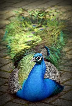 Relaxing Peacock
