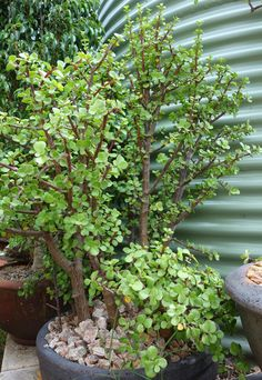 Portulacaria afra forest - 1m high