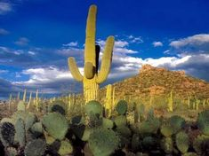 The magical saguaro cactus of the Sonoran Desert.  Each one is a masterpiece of beauty and each one is totally unique!  No two saguaros are alike!