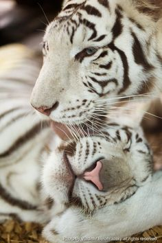 **White Tiger and cub