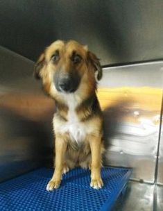 Animal ID 35776799 Species Dog Breed German Shepherd/Mix Age 1 year 6 days Gender Female Size Medium Color Black/Brown Site Department of Animal Services, City of El Paso Location Sally Port Intake Date 6/27/2017