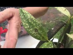 Plant Leaves, Youtube, Plants, Whitefly, Pine Sol, Tropical Gardens, Orchards, Prague, Rice