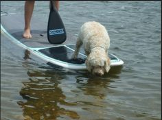 read some great tips on how to SUP with your PUP! #SUP #paddleboard SUP paddleboard #dog paddle www.paddlesurfwarehouse.com