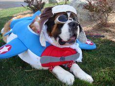 Saint Bernard Dog Costume: Captain America to the Rescue! Dog Halloween Costumes, Dog Costumes, Dog Lover Gifts, Dog Lovers, I Love Dogs, Cute Dogs, Designer Dog Collars, St Bernard Dogs, Pet Tags