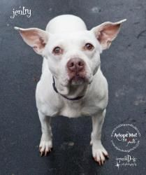JENTRY is an adoptable American Staffordshire Terrier Dog in Indianapolis, IN. Iam a 51 pound and 4 year y/oold bundle of love! My new name is Jentry. Housebroken, crate-trained, and well-mannere...