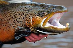 trophy brown trout mug shot