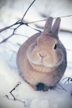 Bunny in the snoow