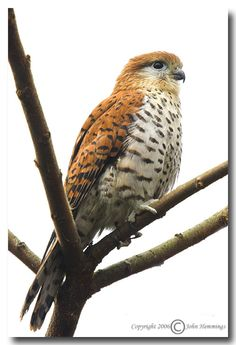 Has been up listed by the IUCN to Endangered  -  Mauritius Kestrel Falco punctatus