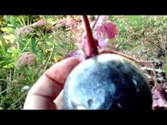 Taking cuttings from perennial plants in as little as 6 weeks with the cutting globes Heuchera, Cuttings, Globes, Perennials, Christmas Bulbs, Take That, Gardening, Holiday Decor, Youtube