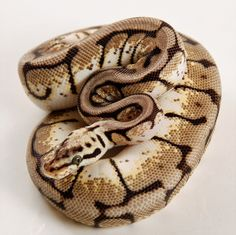 Bumble Bee 66% Het Clown Ball Python by The Gourmet Rodent - MorphMarket USA