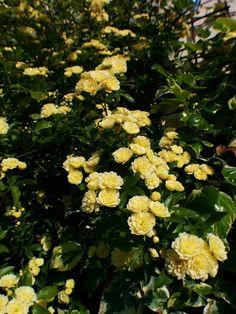 Yellow Roses #banksiae