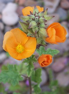 Globe Mallow in bloom - These are like weeds in Las Vegas.  They grow everywhere.