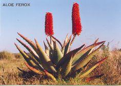 Aloe Ferox Naturally the Better Healing Herbal Medicine for Health, Beauty, Longevity and Vitality
