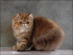persas - persa gatos Foto