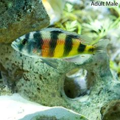 Zebra Obliquidens is a popular African Cichlid that is fairly peaceful for a freshwater fish of its type and size. Live Freshwater Fish, Sea Slug, Tank Design, African Cichlids, Colorful Fish, Ocean Life, Aquariums, Aquarium Fish, Pet Care