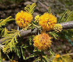 Acacia caven, el espinillo, aromo, espino o churqui, es un árbol o arbusto de hoja caduca de la familia Fabaceae, presente en Argentina, Bolivia, Chile, Paraguay, Uruguay y el sur de Brasil.
