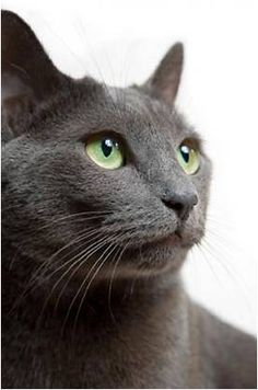 just like my little lex - russian blues are amazing!