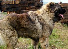 Owczarki kaukaskie   Owczarki środkowoazjatyckie