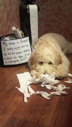 Naughty girl - Graysin our Goldendoodle
