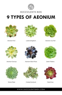 9 types of Aeoniums – my favorites - Garden Types Succulent Names, Succulent Wall Art, Cacti And Succulents, Planting Succulents, Planting Flowers, Succulent Tattoo, Succulent Display, Succulent Bouquet, Flowers Perennials