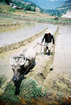 Paddy farmer . Sapa, Vietnam