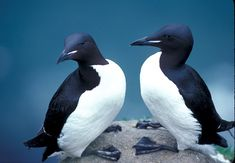 thick-billed murres, alaska