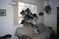 Beverly Arntson to Norwegian Elkhound      Another picture just waiting for a caption!