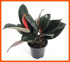 "Burgundy India Rubber Tree Plant - Ficus - An Old Favorite - 4"" Pot - Lets plant (*Amazon Partner-Link)"