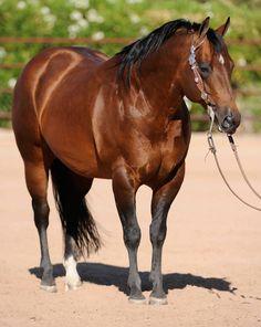 RUF CONQUEROR ~ stunning bay quarter horse stallion