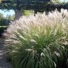 Maiden Grass 'Morning Light'-Miscanthus sinensis- year-round specimen to behold! Elegant striped blades of green and white emerge in spring and will grow to 4' – 5' tall by summer. Toward the end of summer, coffee colored flower tufts crown this beauty and draw the eye to it and its surroundings. Easy to care for let stand through winter for an outdoor dried display both you and the birds will appreciate. Plant alone, in groups or among contrasting low growing plants to show off its regal…