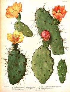 Vintage Botanical Art Print Flowering Cactus No. by BelleArtPrints Vintage Botanical Art Print Flowering Cactus No. by BelleArtPrints Vintage Botanical Prints, Botanical Drawings, Antique Prints, Botanical Art, Vintage Prints, Cactus Y Suculentas, Opuntia Cactus, Cactus Art, Desert Plants