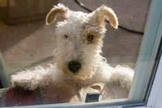 FOX TERRIER! Almost doesn't look real. So cute!