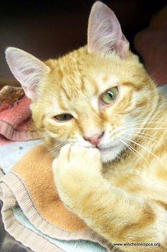 Orange tabby cat-looks like my Simon