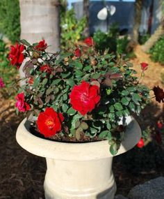 Sunrosa Red adds a wonderful pop of color all summer long in this timeless container. Mother Day Gifts, Color Pop, Vines, Bloom, Outdoor Decor, Plants, Red, Container, Gift Ideas