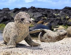 Fresh out of the water, newborn sea lion pupsroll in sand to protect themselves from the blazing sun in San Cristobal, Galapagos Islands. laurajmoss: