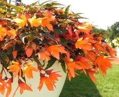 Begonia Bossa Nova Orange #2015 #new #eckertsgreenhouseMI #begonia #bossanova #orange