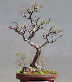 Chinese Quince (Pseudocydonia Sinnessis) Bonsai, Informal Upright style (Moyogi).