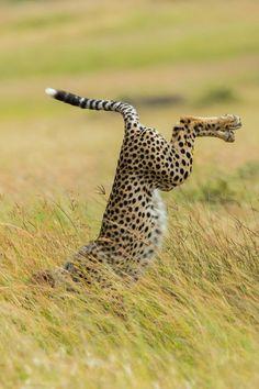 UPSIDE DOWN   funny  Cheetah      #by   mymodernmet.com