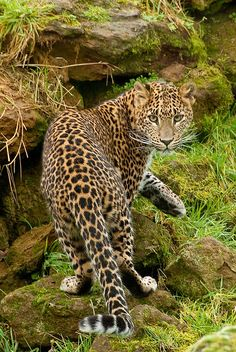 Amur leopard - critically endangered with less than 40 leopards remaining.
