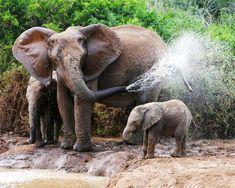 Album - Google+ olifant
