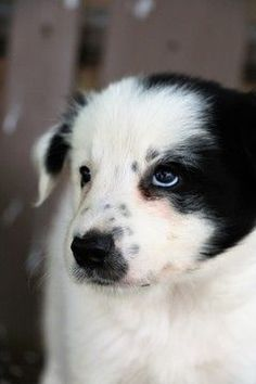 Border Collie puppy for sale in BERWICK, PA. ADN-44408 on PuppyFinder.com Gender: Male. Age: 7 Weeks Old #bordercollie