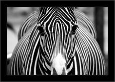 Is this zebra symmetrical?