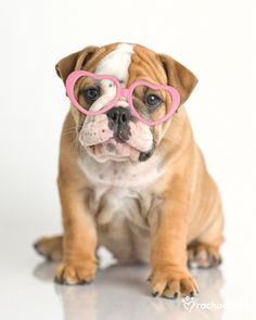 Lola (British Bulldog) – Daily Pet Calendar for January 16, 2013 – Rachael Hale ® The world's most lovable animals