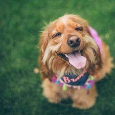 💖BRANDY 💋es amor 💕 dulzura 😘alegria 😀picardia 🤪 y sus papás humanos 💑lo saben y les encanta 👏🐾❣️🥰 @brandy_the_cocker . El cocker es un perro compacto, deportivo y atlético, suele ser dulce y tierno con sus familiares. Es muy fiel y atento. Dogs, Animals, Amor, Sporty, Athlete, Sweet, Pets, Animales, Animaux